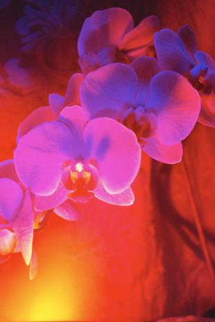 orchid3.krinakingsman.png