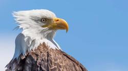 Wildlife - eagles 4