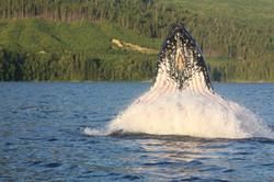 Wildlife - grey whale