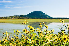 Sunflowers%20and%20Capulin%20Volcano%20I