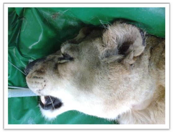 Anestesia Geral Inalatória em Leoa