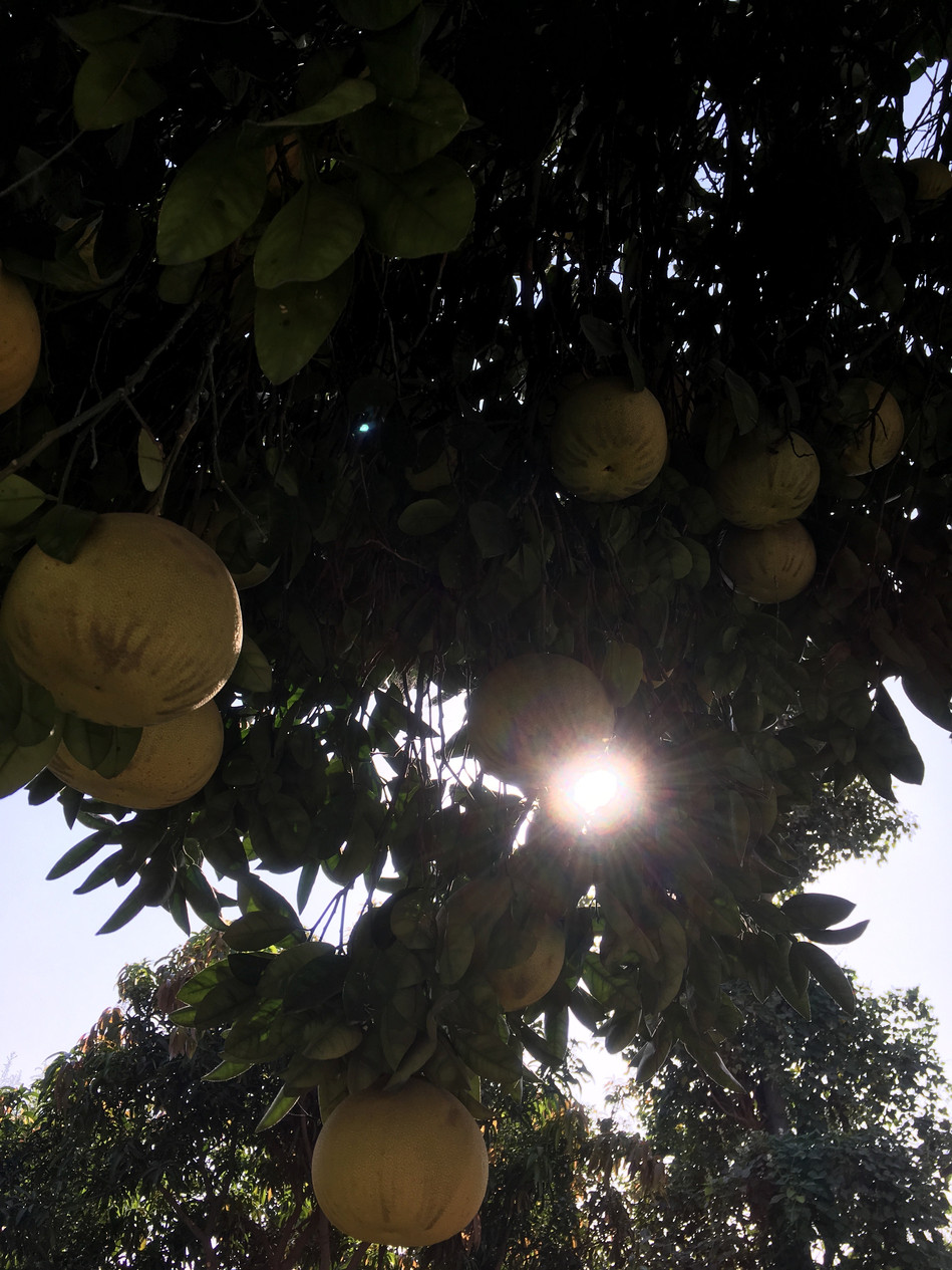 Pathankot 2017, grapefruit