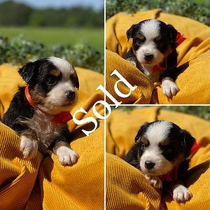Orange Tri Female (4 Weeks) Sold.jpg
