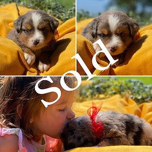 Red Blue Merle Female (4 Weeks) Sold.jpg