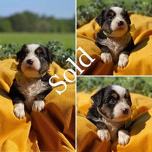 Yellow Tri Female (4 Weeks) Sold.jpg