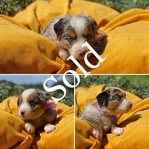 Lilac Blue Merle Female (4 Weeks) Sold.j