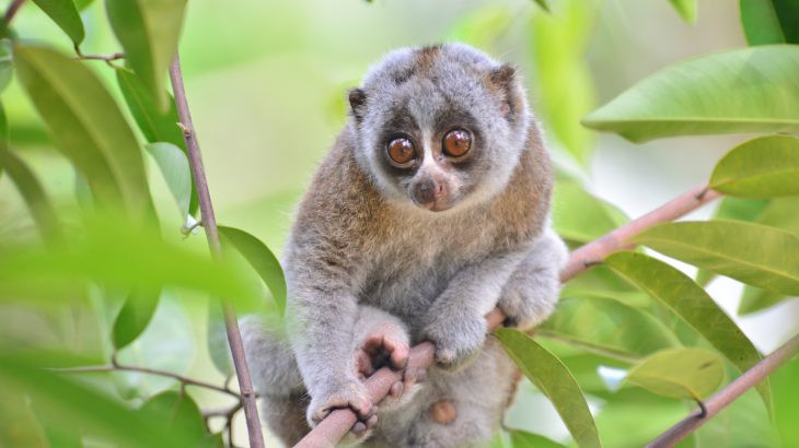 An endangered slow loris rests on a tree branch.