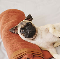fawn%20pug%20lying%20on%20red%20textile_edited.jpg
