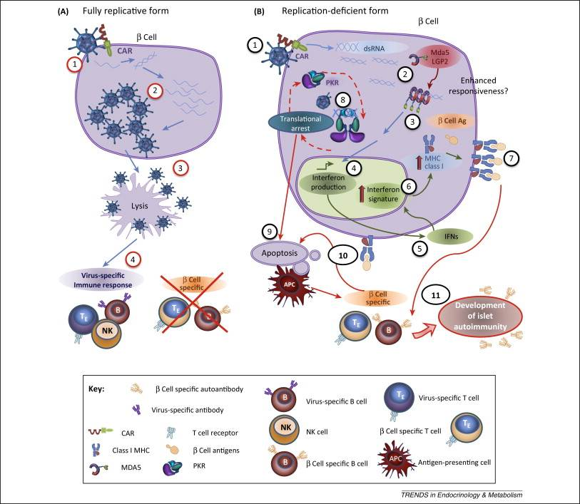 Enteroviruses as causative agents in type 1 diabetes_loose ends or lost cause