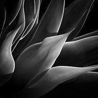 M.LPO.Yucca Plant.jpg
