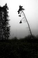 M.PAR.Bent Pine in Fog.jpg