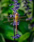 N.DAJ.Green Darner Dragonfly.jpg