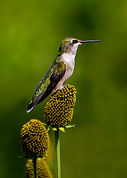 N.DAJ.Hummingbird_In_Green.jpg