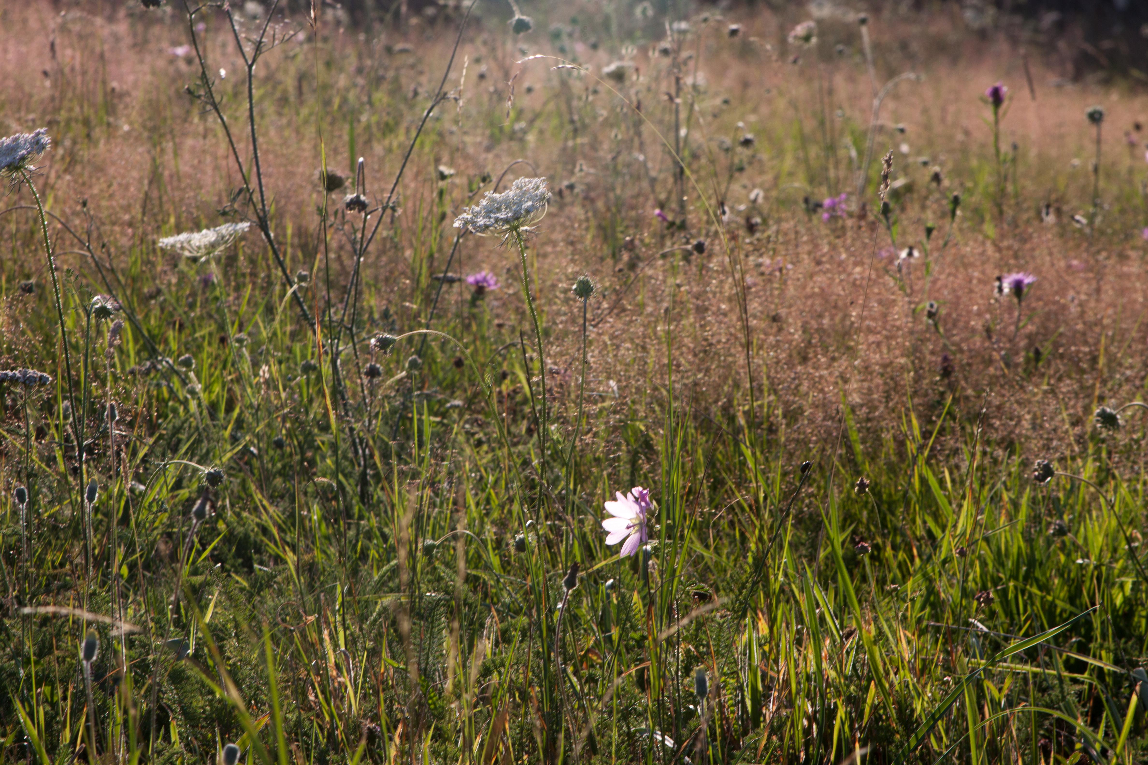 Reiki, champs de fleurs