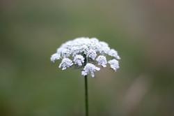 Reiki, fleur