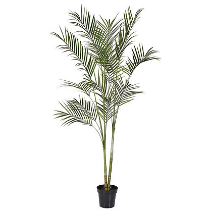 Green Areca Palm