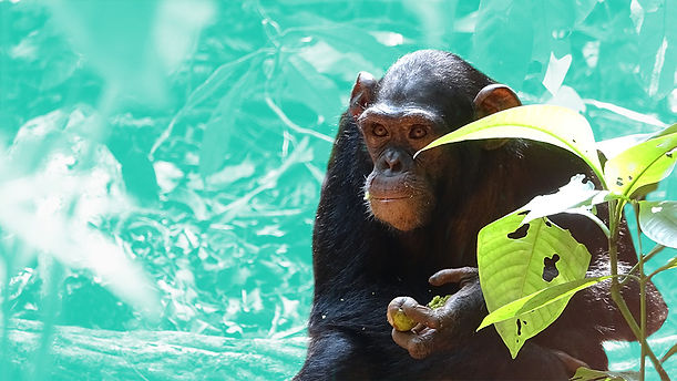 ozouga-schimpansen-artenschutz-v2.jpg