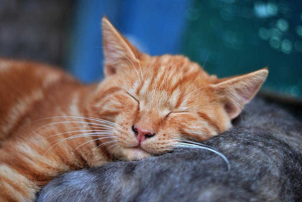 Slapende kat.