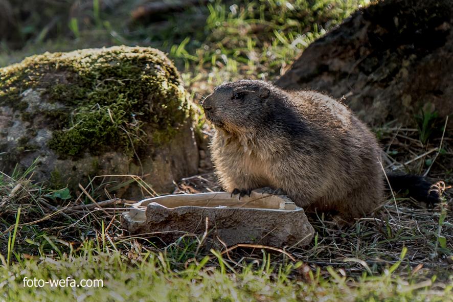 Murmeltier Tierpark Langnau am Albis 09.