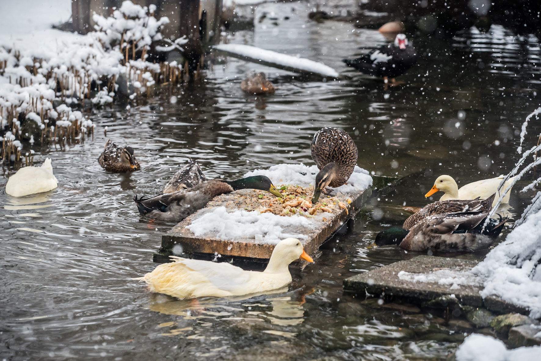 Enten Storchensiedlung Jan