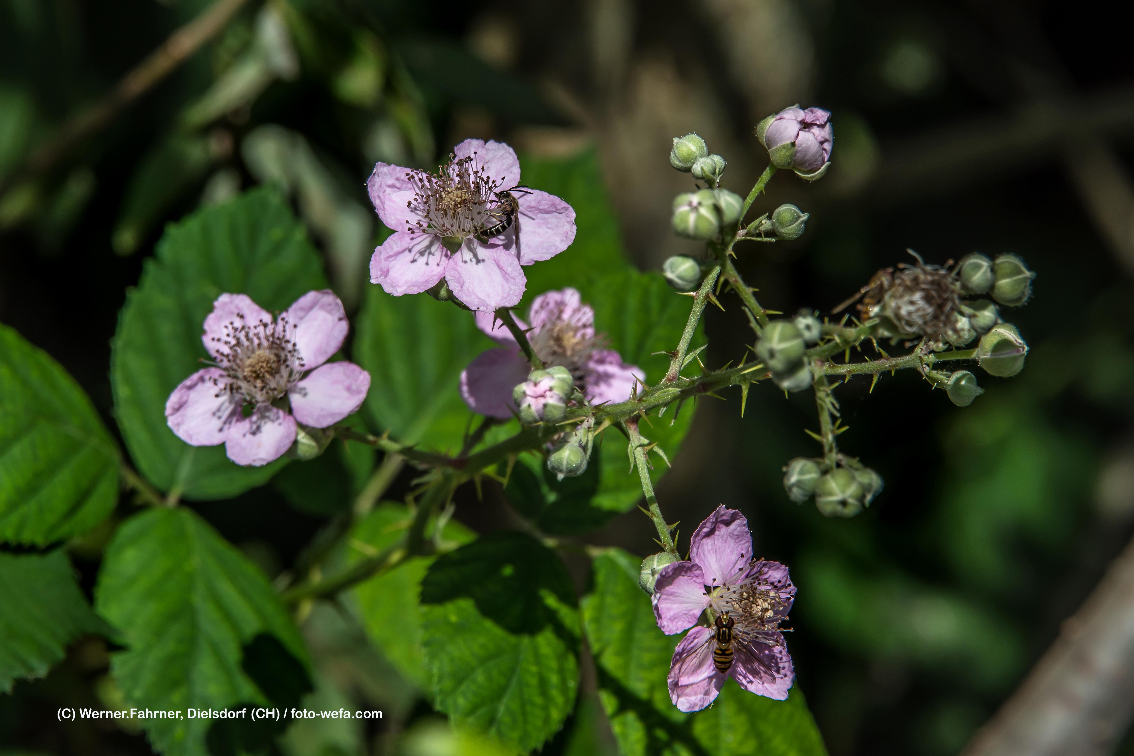 Brombeerblüte_09