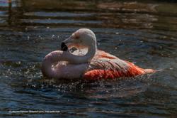 Flamingo_Zoo_Zürich_06