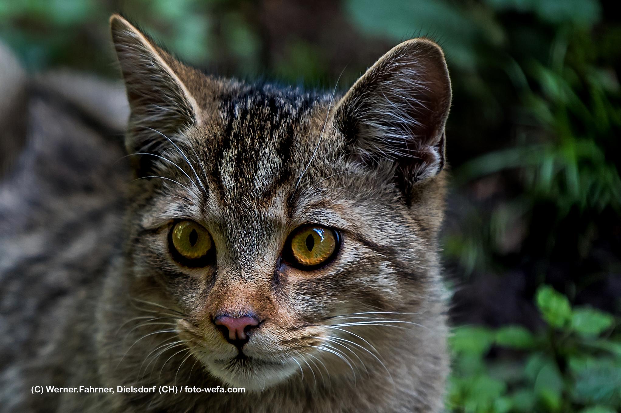 Wildkatze Tierpark Langnau am Albis 09