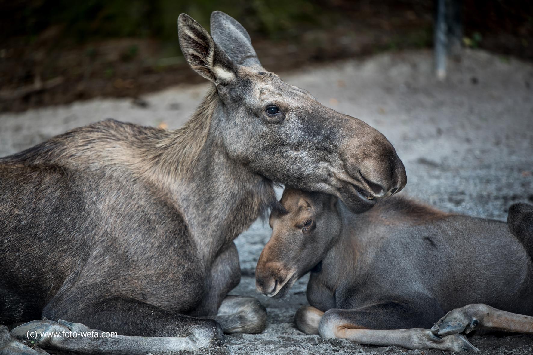 Elch  Tierpark Langnau am Albis 09