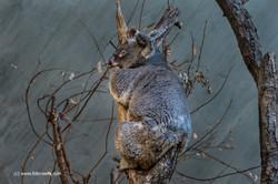 Koalabär_Zoo_Zürich_09