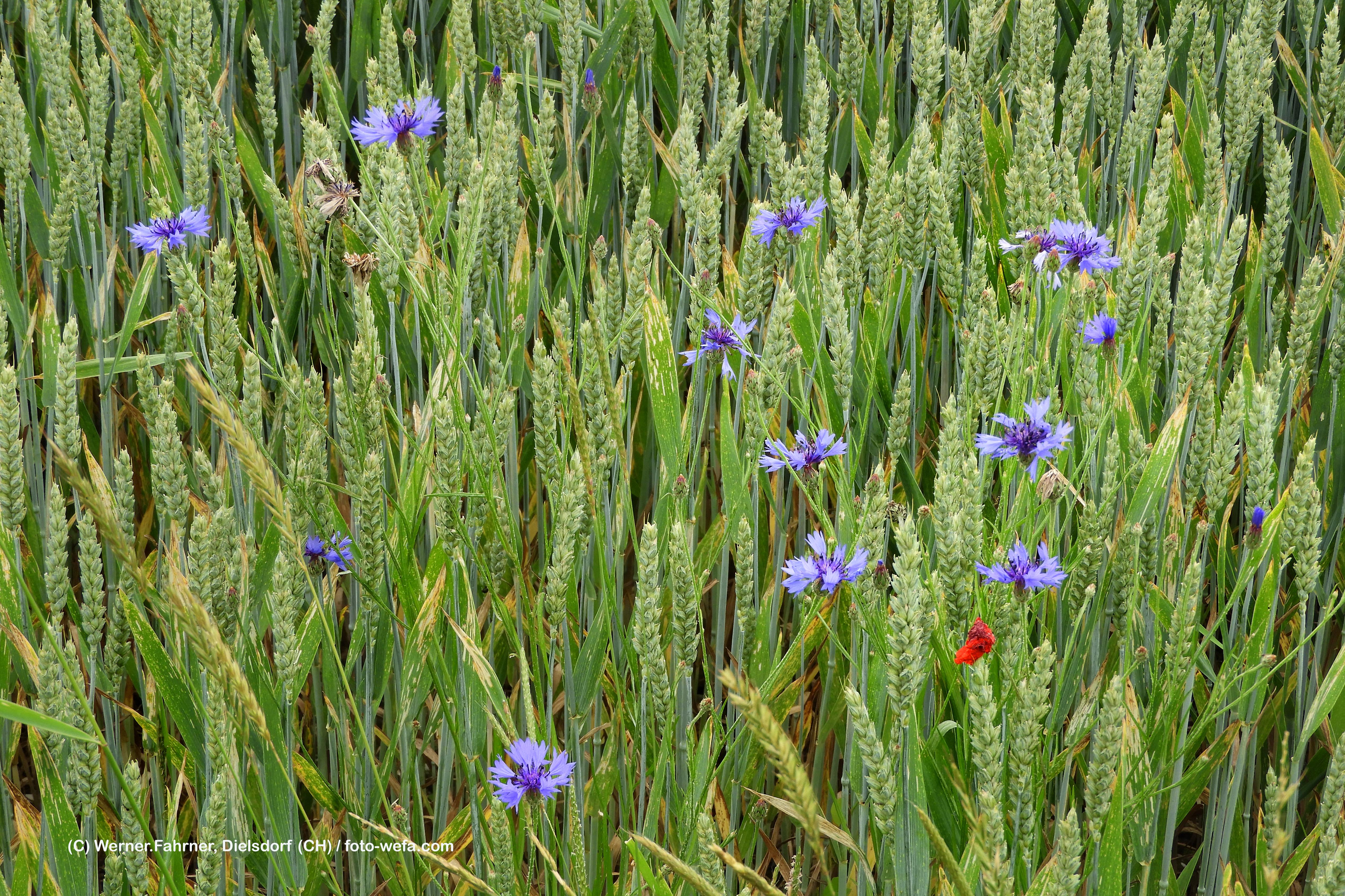 Feld Weizen mit Kornblumen  06