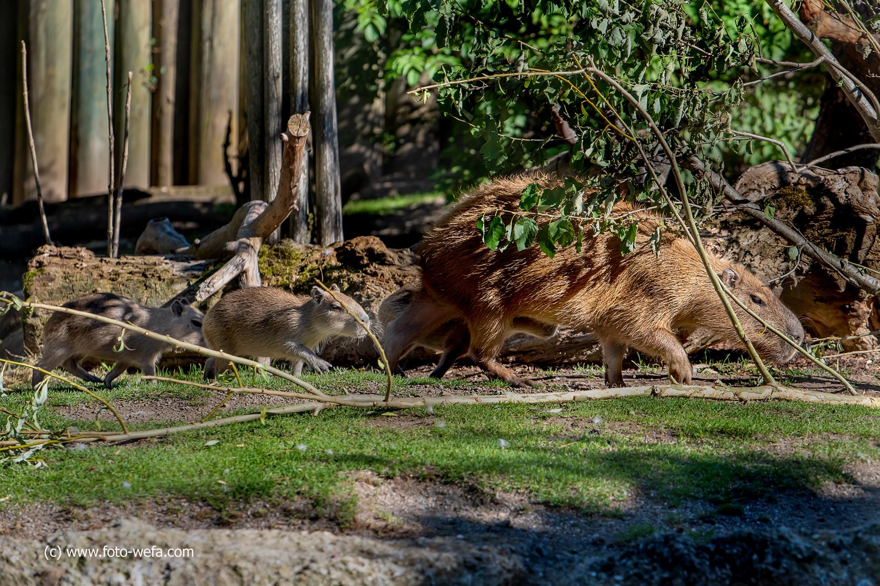 Capybara____Meer-Schwein_Zoo_Zürich_09.