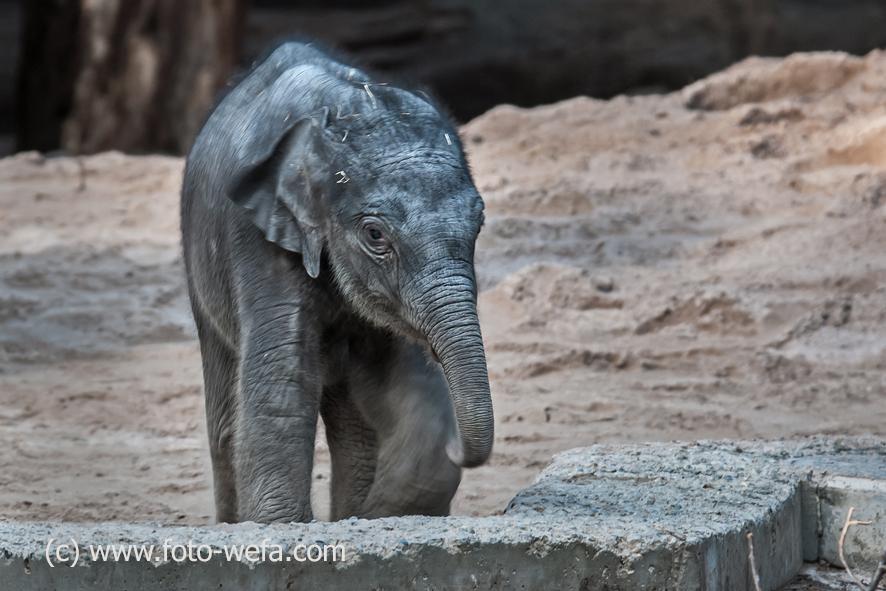 Elefant Zoo Zürich Ruwani 03