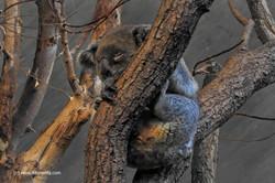 Koalabär_Zoo_Zürich__07