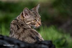 Kopie von Wildkatze Tierpark Langnau am