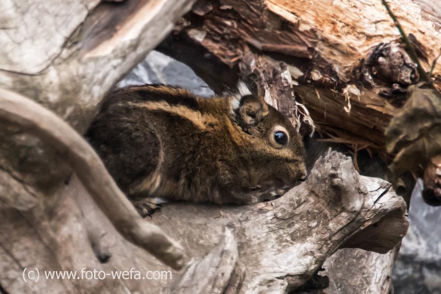 Chinesische Baum Streifenhörnchen Zoo Zü