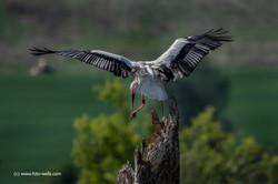 Storch Höri Ried 04