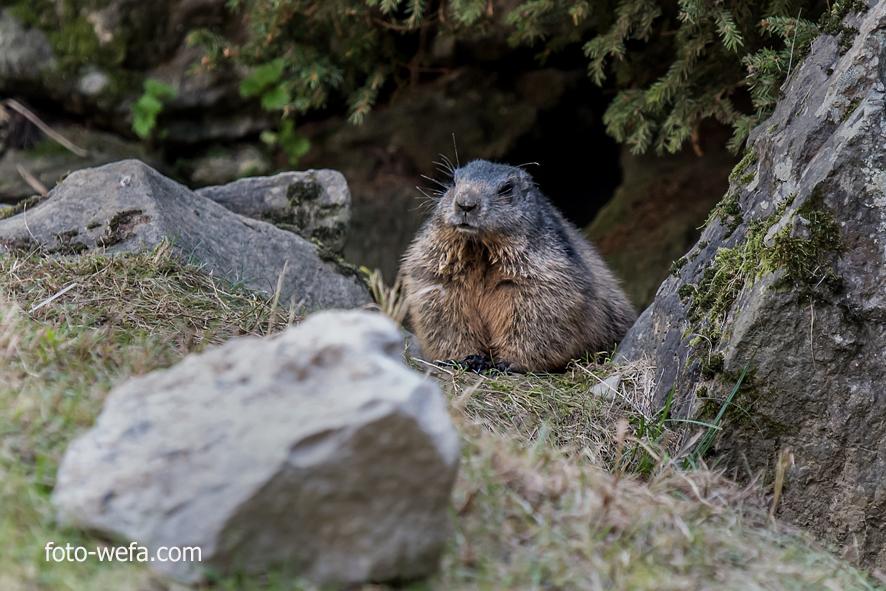 Kopie von Murmeltier Tierpark Langnau am