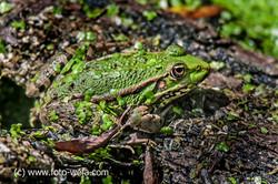 Amphibien Frosch Kl.Rhein Zurzach 07