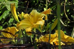Taglilie Garten 07