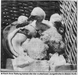 017_vier_Störche_vom_Stadler_Kirchturm_1