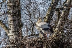Storch  Storchensiedlung Horst Honegger