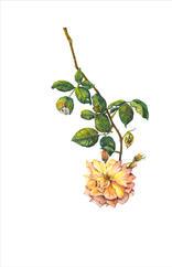 Peace Rose, Rosa x hybrida 'Peace', watercolor.