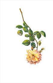 Peace Rose, Rosa x hybrida 'Peace', watercolor