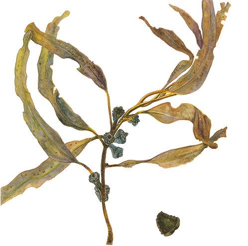 Eucalyptus Nuts