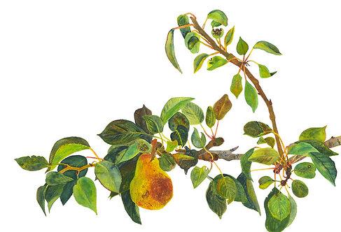Pyrus Communus - Pear Branch