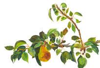 Pyrus Communis - Pear Branch