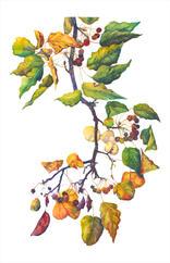 Bradford Pear, Pyrus calleryana 'Bradford', watercolor