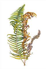Western Sword Fern, Poylstichum munitum, watercolor.