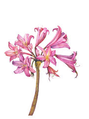 Naked Lady Lily, Amaryllis belladonna, watercolor