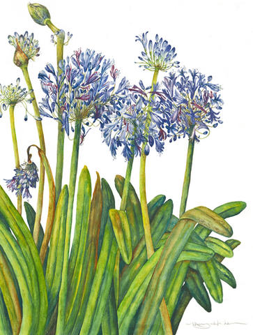 Lily of the Nile, Agapanthus africanus, watercolor